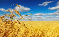 Ripe wheat ears over wheat field